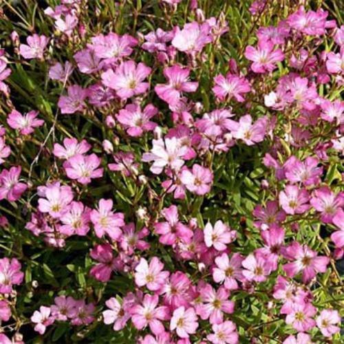 roses flowers gypsophila flower - photo #16