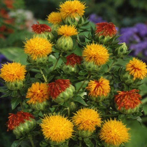 safflower carthamus tinctorius orange for an unusual yet lovely flower grow safflower seeds for this annual with orange flower heads the plant has