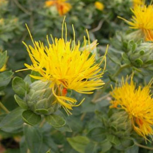 Safflower Seed - Carthamus Yellow Flower Seeds
