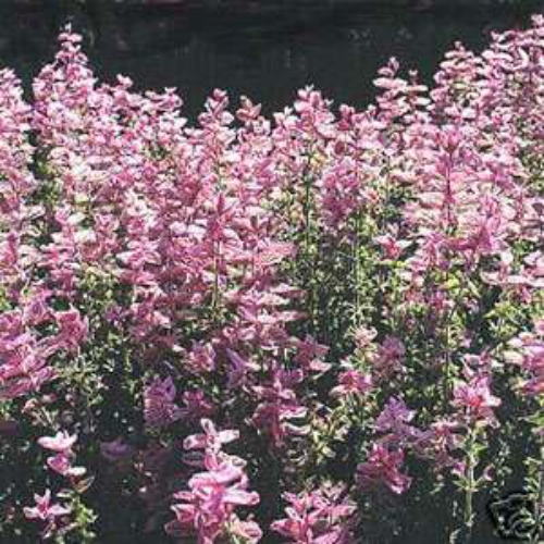 salvia seeds salvia pink sunday flower seed transplanting salvia seedlings 300x300