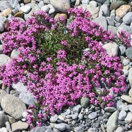 Saponaria ocymoides rock soapwort seeds pink flowers for Perennial ground cover with pink flowers