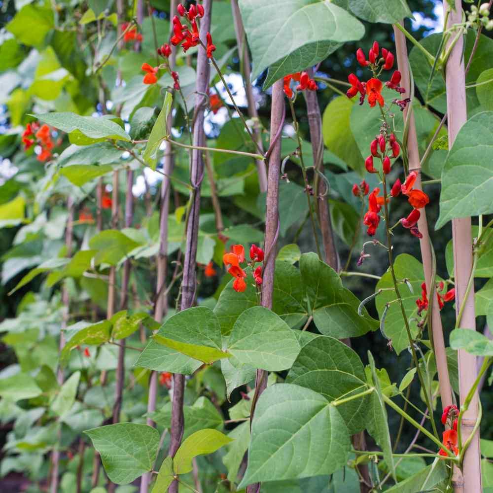 scarlet runner beans seeds  phaseolus coccineus flower seed