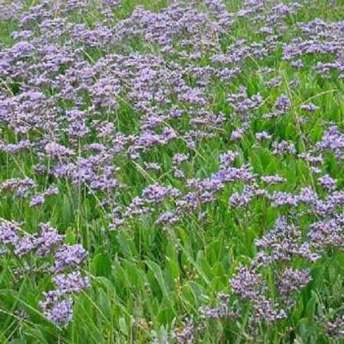 Statice Seeds Sea Lavender Flower Seed