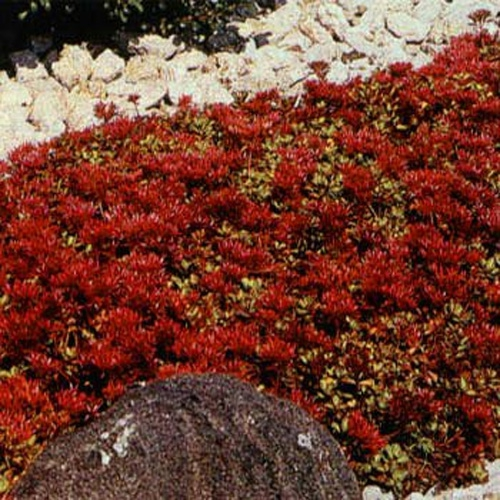Sedum Dragon S Blood Seed Red Stonecrop Ground Cover Seeds