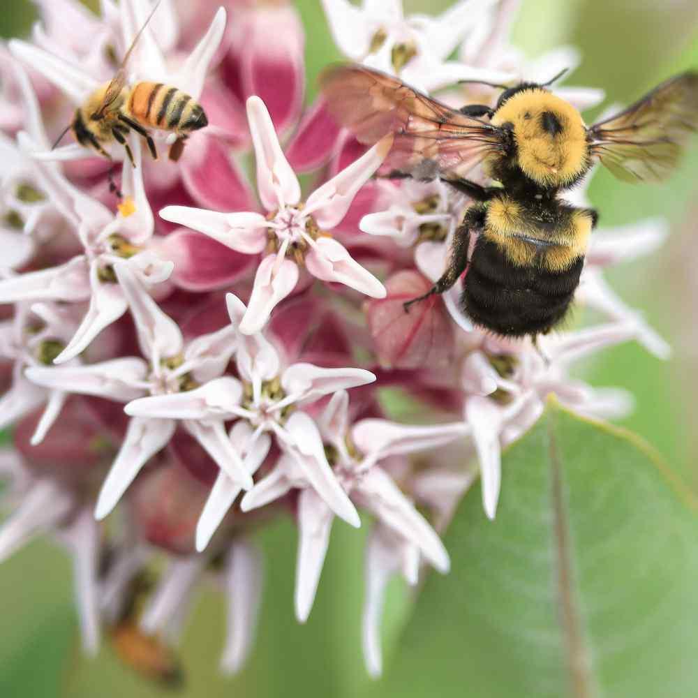 Showy Pink Milkweed Milkweed Seeds 50 Asclepias speciosa Native Wildflower