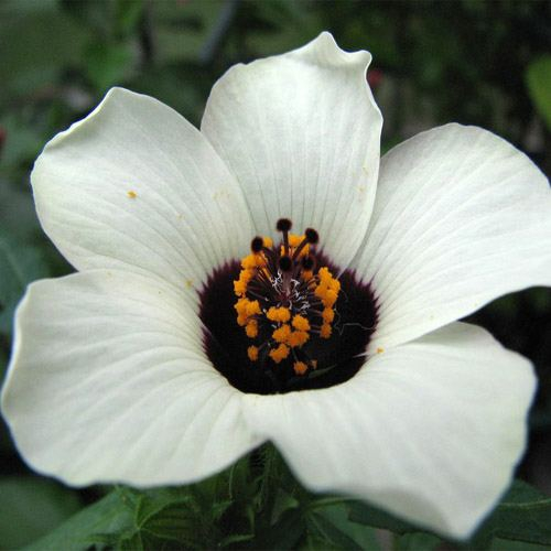 Hibiscus Flower Seeds Hibiscus Simply Love Seed