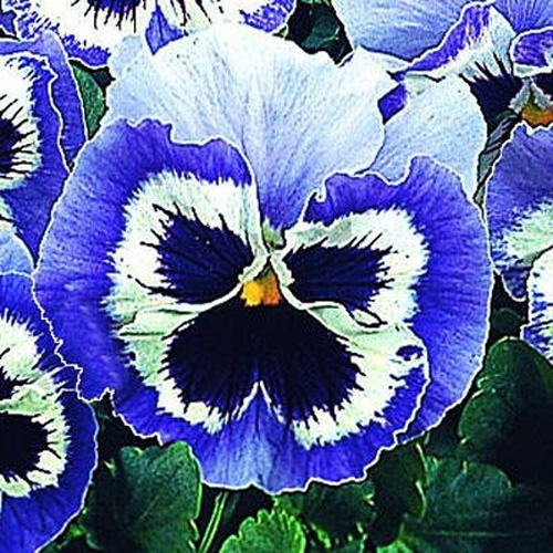 Pansy snowpansy blue white pansy flower seeds pansy pansy snowpansy blue white pansy flowers are a group of large flowered hybrid plants grown as garden flowers pansies are bred from viola mightylinksfo