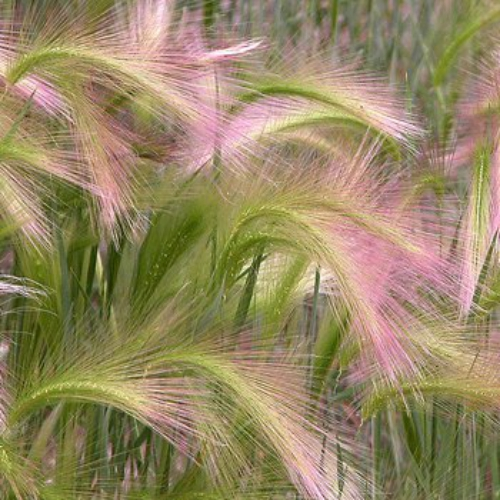 Zone 5 Ornamental Grasses Foxtail barley seeds hordeum jubatum ornamental grass seed foxtail barley hordeum jubatum if you like native ornamental grasses try growing foxtail barley grass seeds it is also commonly called squirrel tail workwithnaturefo