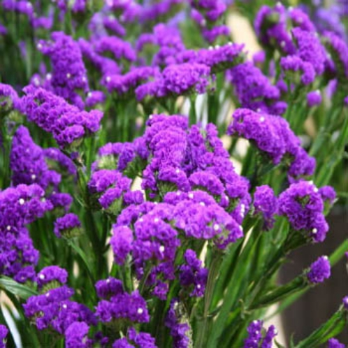 statice limonium sinuatum purple attraction commonly known as statice    Statice Flower