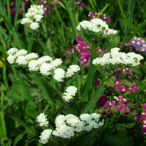 Statice seeds white limonium flower seed statice limonium sinuatum iceberg nothing is more rewarding for the gardener than cutting some of the beautiful flowers in the garden and creating mightylinksfo