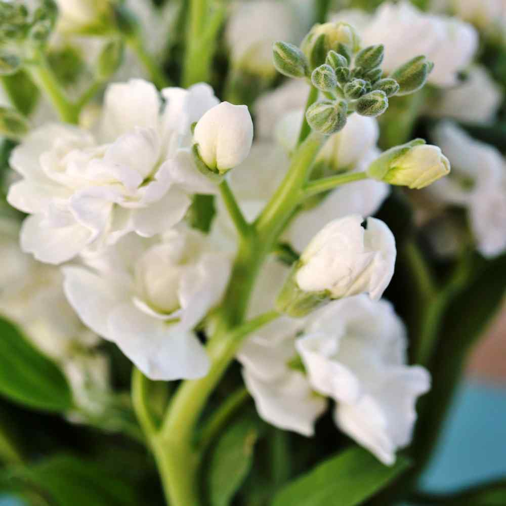 Stock Seeds Matthiola Incana White Flower Seed