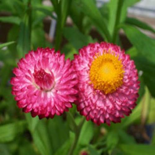 Helichrysum Bracteatum Rose