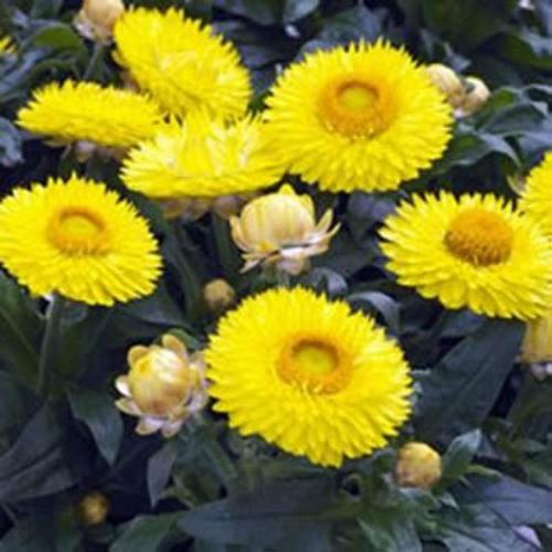 Helichrysum Bracteatum Yellow