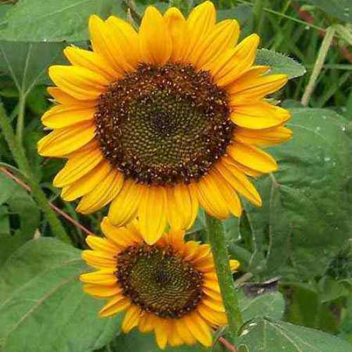 Sunflower Sunspot Dwarf Flower Seeds