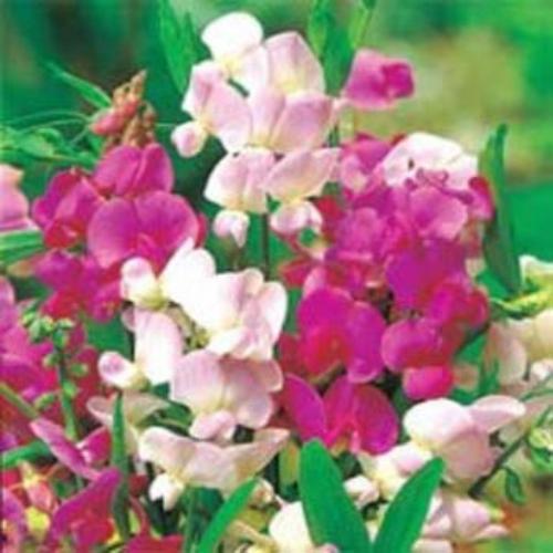 Sweet Peas Seed Perennial Sweet Pea Mix Flower Seeds