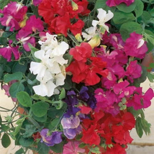 royal sweet pea lathyrus odoratus royal mix sweet peas are a very colorful vining plant with large fragrant blooms and they grow so easily from sweet - Vining Flowers