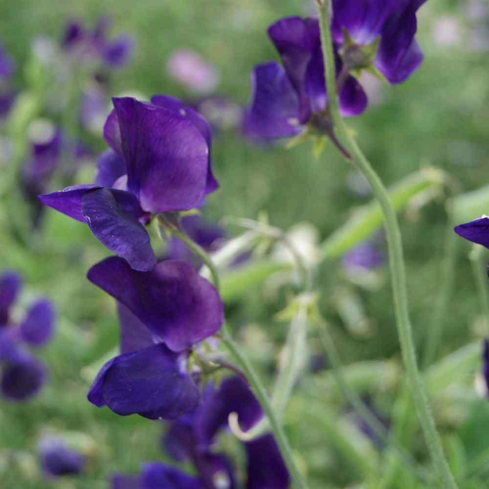 Sweet Peas Seed Lathyrus Royal Navy Blue Flower Seeds
