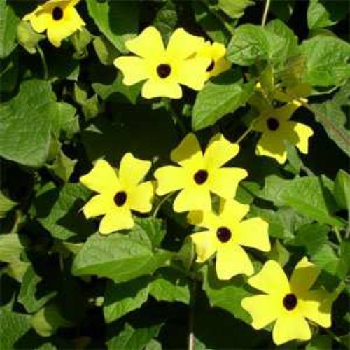 Thunbergia seeds yellow black eyed susan vine flower seed thunbergia alata yellow mightylinksfo