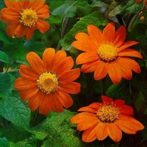 Mexican Sunflower Goldfinger