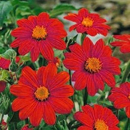Mexican Sunflower Flower Seed