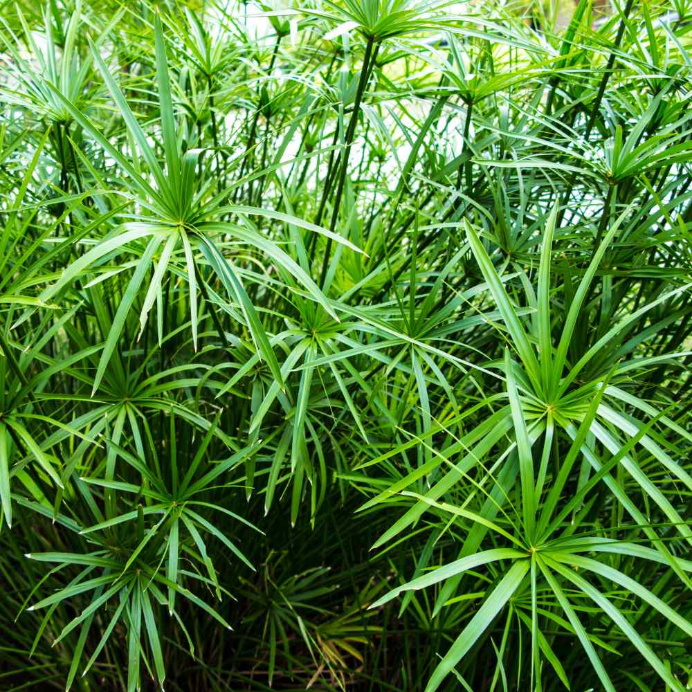 Umbrella Plant Seeds - Cyperus Alternifolius Palm Flower Seed