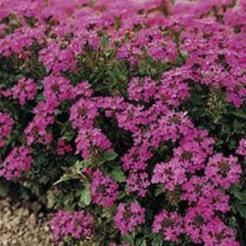 Verbena Ground Cover Seed