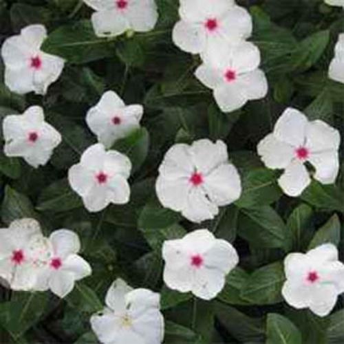 Periwinkle Seeds Vinca Rosea Bright Eyes Ground Cover Seed