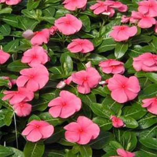 periwinkle seeds  vinca rosea pink ground cover seed, Natural flower