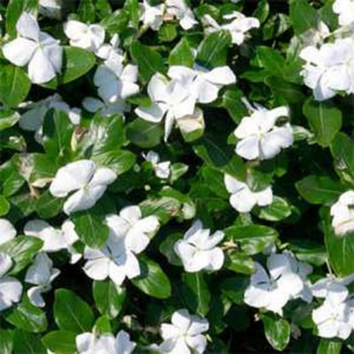 Periwinkle seeds vinca rosea white ground cover seed grown from periwinkle seeds it begins blooming in early summer with big pure white flowers mightylinksfo
