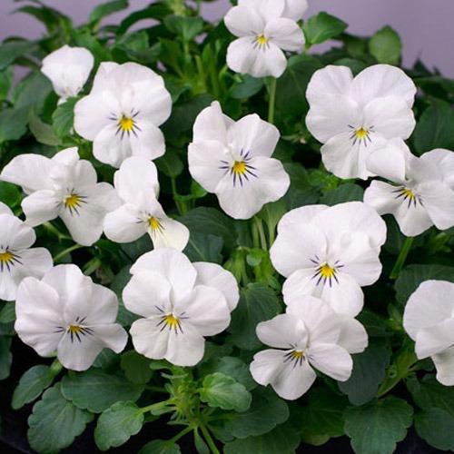 Viola Cornuta Seeds - White Perfection - Great in Hanging ...