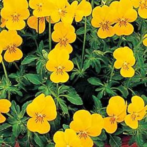 Viola Seed Viola Yellow Perfection Flower Seeds