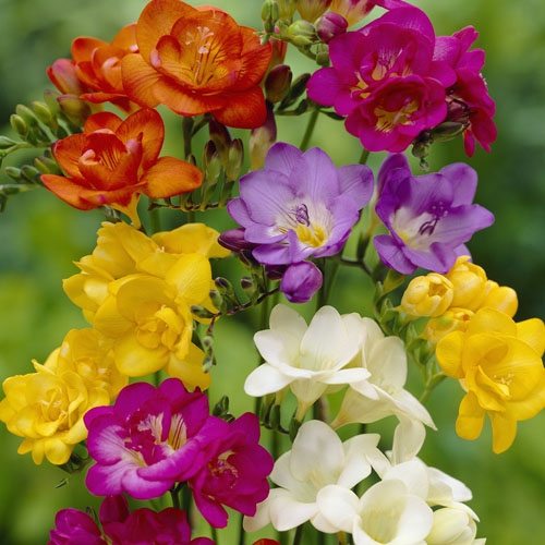 Image result for freesia flowers