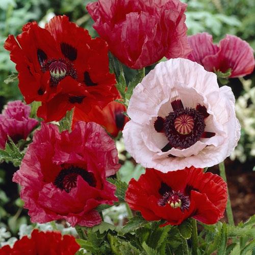 Oriental Poppies Seed Poppy Wildflower Seeds