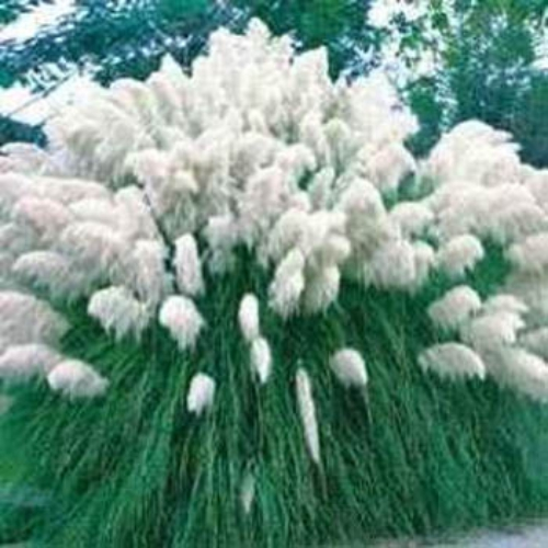 White pampas grass seeds ornamental grass seed for Long ornamental grass