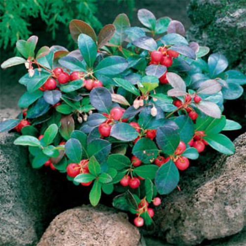 Wintergreen Seeds - Wintergreen Ground Cover Seed