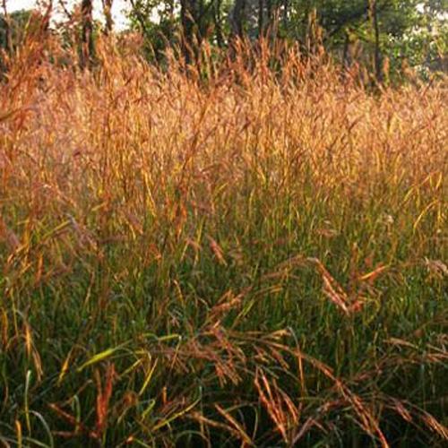 Big bluestem seeds andropogon gerardii native for Large perennial grasses