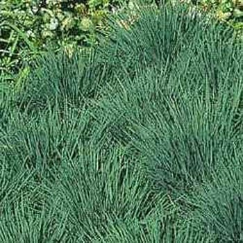 200 blue hair seeds koeleria glauca ornamental grass for Low mounding ornamental grasses