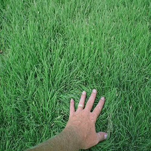 Cody Buffalo Grass