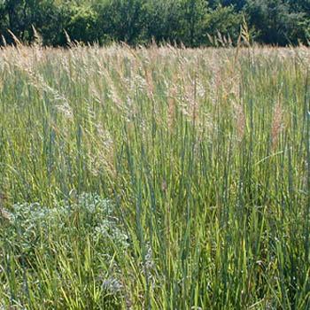 Indian Grass Seed Sorghastrum Nutans Native Grass Seeds