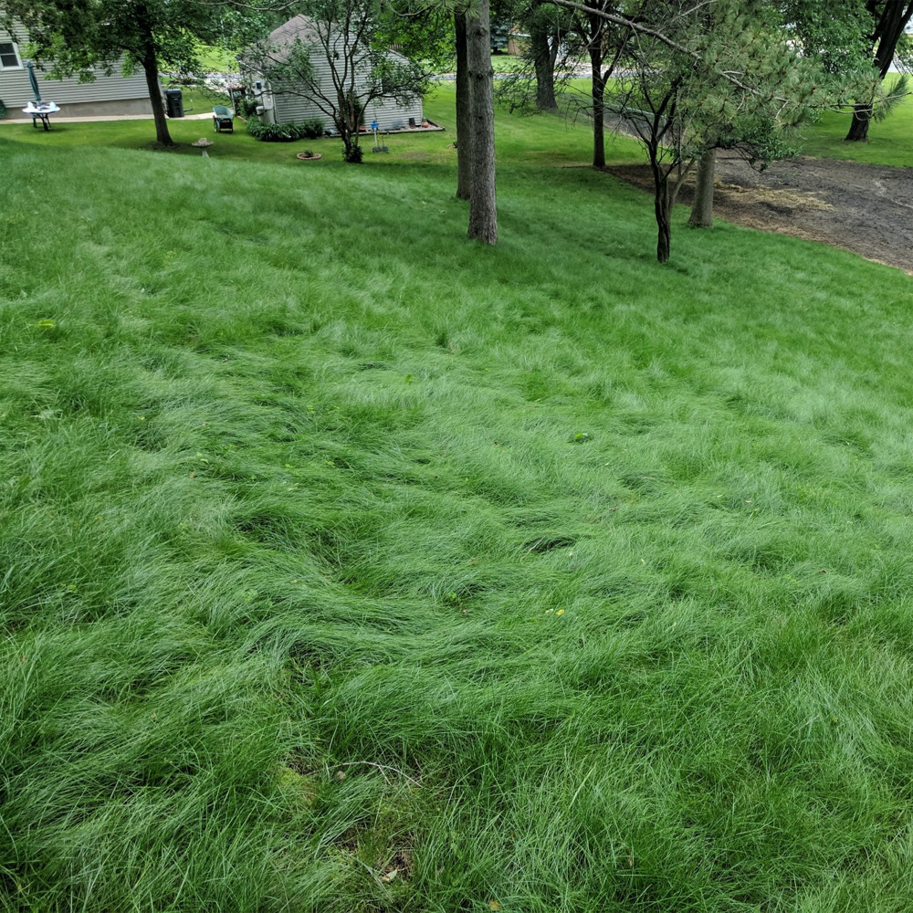 """Gulf Annual Ryegrass Seeds /""""Cool Climate Grass Seed/"""" 50 Lbs"""