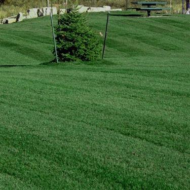 Kentucky Bluegrass Seed Midnight Kentucky Bluegrass Lawn