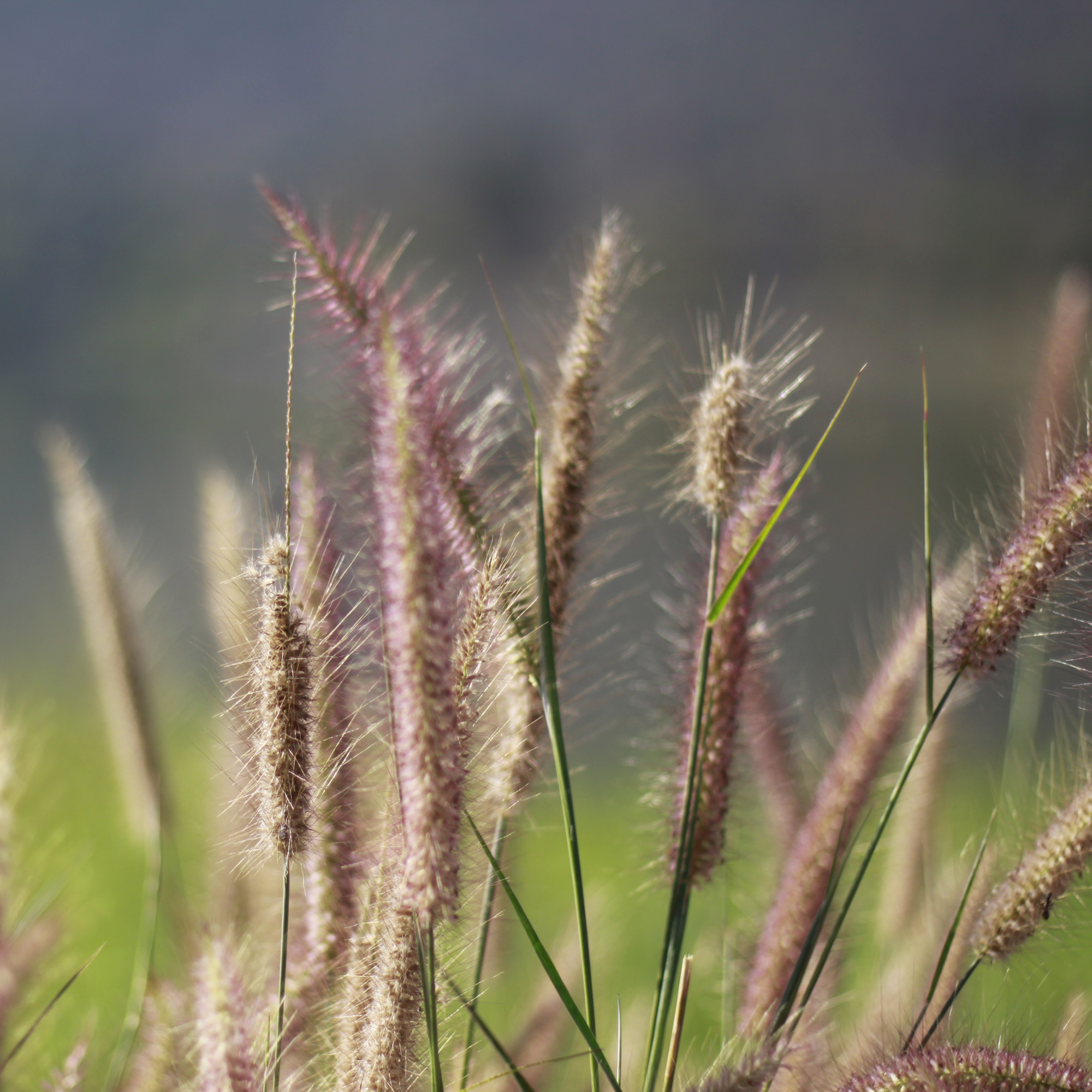 Northeast Native Grasses