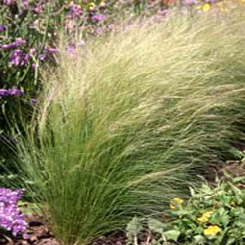 Pics for mexican feather grass in containers for Ornamental grass in containers for privacy
