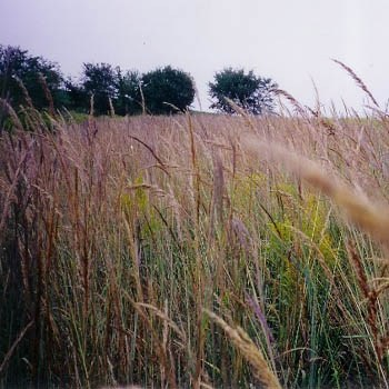 Tall Native Grasses