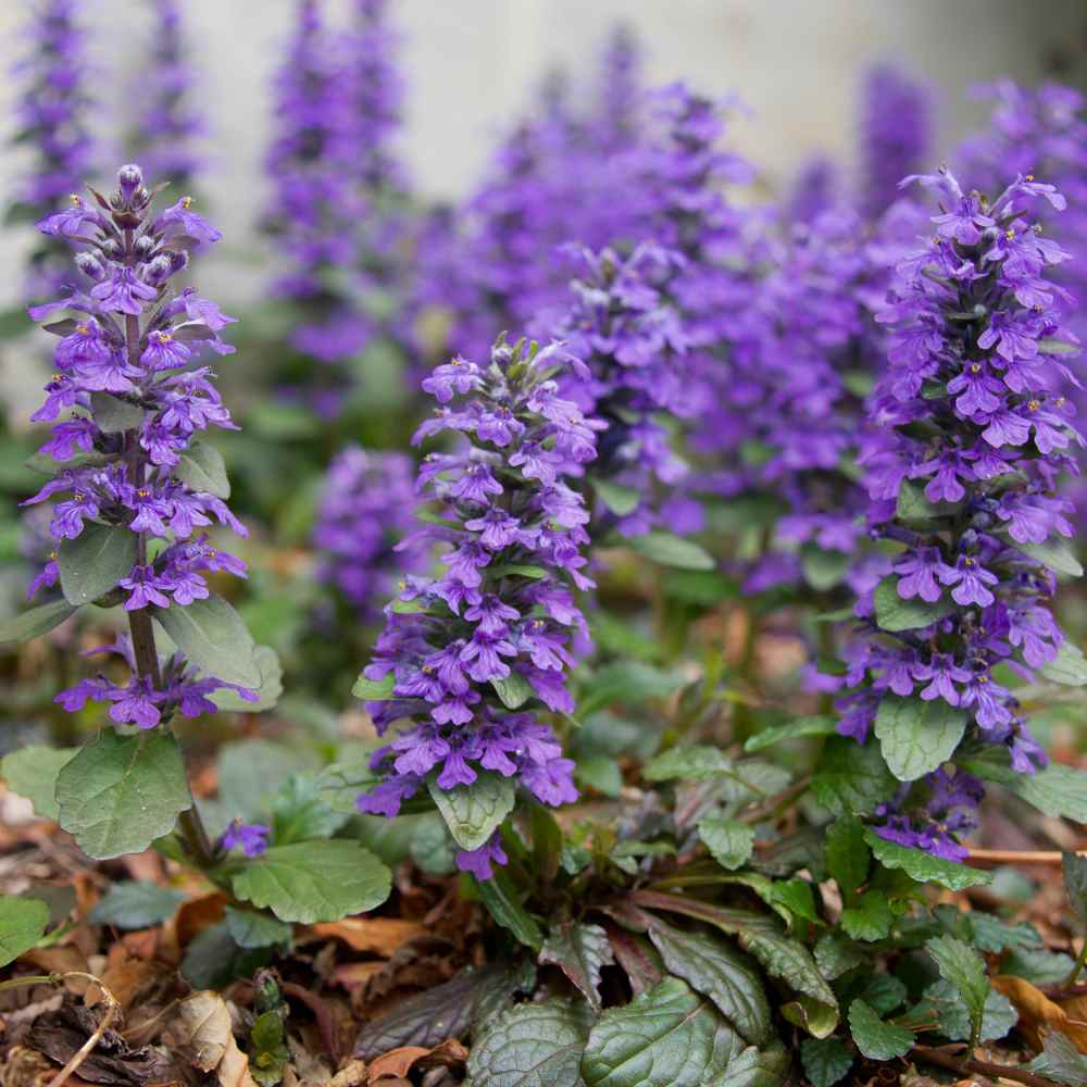 Ajuga Reptans Ground Cover Plant Seed