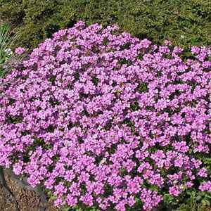 Arabis rock cress seeds arabis alpina ground cover seed arabis rosea seed mightylinksfo