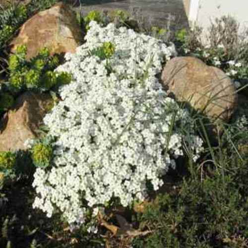 Arabis rock cress seeds arabis alpina ground cover seed for Low maintenance perennials zone 4