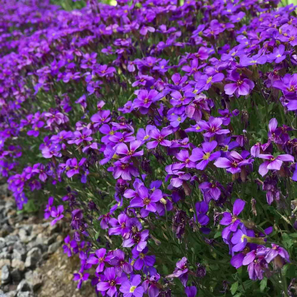 Purple Cascading Aubrieta Ground Cover Plant Seeds Rock Cress