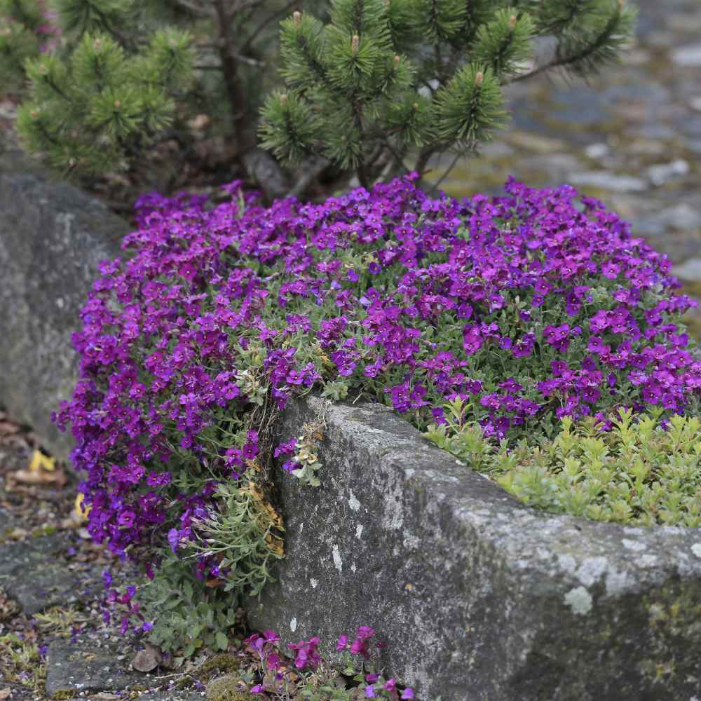 Aubrieta Seeds Rock Cress Ground Cover Plant Seed