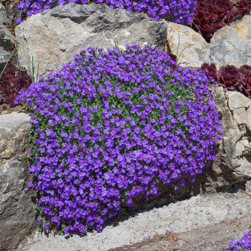 Aubrieta Seeds Rock Cress Whitewell Gem Ground Cover Seed